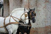 stock photo of workhorses  - horses - JPG
