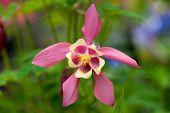 stock photo of columbine  - Single  Pink flower Columbine Aquilegia chrysantha  in the garden - JPG