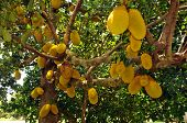 Tropical Breadfruit Tree