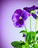 Photo of beautiful purple pansy flowers isolated on violet background, fresh magenta pansies on gree