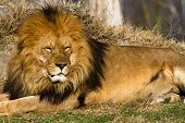 image of african lion  - profile of a relaxed African lion staring in the zoo - JPG