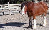 picture of clydesdale  - a clydesdale horse standing in a pen - JPG