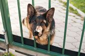 stock photo of heartwarming  - Guard dog peeking out from behind the green fence - JPG