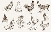 foto of cockerels  - chicken breeding - JPG