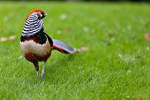 stock photo of pheasant  - Golden Pheasant  - JPG