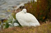 stock photo of falklands  - Falkland Island Kelp Goose white male resting on cliff edge - JPG