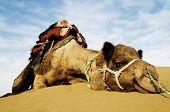 foto of dromedaries  - Dromedary Camel in The Thar Desert - JPG