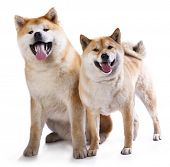 picture of akita-inu  - Akitas and Shiba Inu - JPG