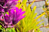 stock photo of bromeliad  - close up violet bromeliad plants on light morning - JPG