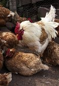 picture of leghorn  - Barnyard chickens penned up in their chicken coop - JPG