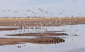 picture of snow goose  - A Flock of Snow Geese Lands in a Pond in a Rural Landscape - JPG