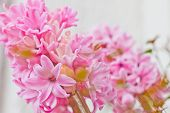 Beautiful Fresh Pink Hyacinth Flowers