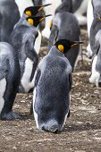 picture of falklands  - King Penguin  - JPG