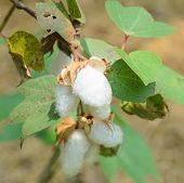 pic of boll  - Clsoe Up Of Cotton Boll Of Gossypium Plant - JPG