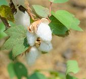foto of boll  - Clsoe Up Of Cotton Boll Of Gossypium Plant - JPG