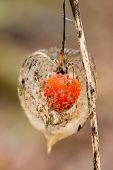 foto of bladder  - Beautiful Bladder cherry close up  - JPG