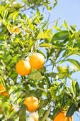 picture of valencia-orange  - Trees with orange typical in the province of Valencia Spain