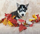 stock photo of puppy eyes  - Beautiful Husky puppy with blue eyes laying down with fall decor around her - JPG