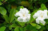 stock photo of gardenia  - White gardenia jasminoides blooming in garden - JPG