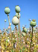 image of opiate  - Poppy heads in field on sunny day - JPG