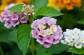 stock photo of lantana  - Lantana or Wild sage or Cloth of gold or Lantana camara flower in the garden