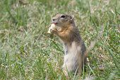 stock photo of gopher  - The gopher is in the grass and holding in the paws a piece of banana - JPG