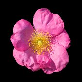 picture of rosa  - Wild rose - JPG