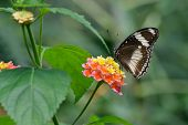 picture of lantana  - The Great Eggfly  - JPG
