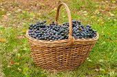 stock photo of merlot  - Merlot Grapes in basket on autumn grass  - JPG