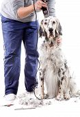 stock photo of english setter  - A professional is grooming an English Setter - JPG