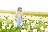 picture of daffodils  - Beautiful Curly Toddler Girl In A Blue Dress Playing In A Field Of Yellow Daffodil Flowers - JPG