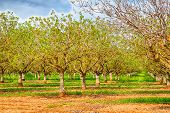 stock photo of pecan tree  - Nut groves on the side of the road in California - JPG
