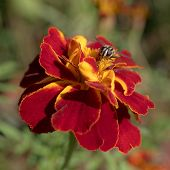 stock photo of marigold  - hoverfly sitting on flower marigold close up