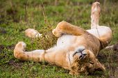 image of wildebeest  - A lion naps after feeding on a freshly killed wildebeest carcass - JPG
