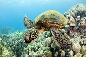 stock photo of green turtle  - A Hawaiian green sea turtle glides over the reef near Kona Hawaii - JPG