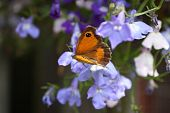 image of gatekeeper  - A Gatekeeper butterfly sits resting on a blue flower on a summer day - JPG