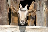 pic of pry  - Bearded goat looking through a wooden fence boards - JPG