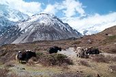 image of yaks  - Tibetan landscape with yaks and snow - JPG