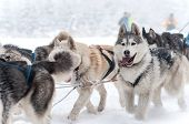 pic of sled-dog  - Dog sled - JPG