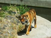stock photo of indium  - beautiful tiger in a cage in Kiev Zoo - JPG