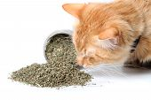 stock photo of catnip  - Orange cat smelling dried catnip spilled over from container on white background - JPG