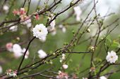 Постер, плакат: Dwarf Flowering Cherry Dwarf Flowering Almond