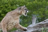 stock photo of mountain lion  - Mountain lion snarling with mouth open and teeth showing - JPG