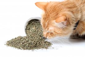 foto of catnip  - Orange cat smelling dried catnip spilled over from container on white background - JPG