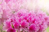 pic of azalea  - Flowers of Rhododendron  - JPG