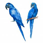 foto of parrots  - Beautiful vector image with nice watercolor blue parrots - JPG