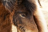 picture of pony  - Closeup of two brown Icelandic ponies on a meadow - JPG