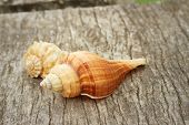picture of conch  - conch shell on a background of wooden - JPG