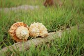foto of conch  - conch shell on a background of green grass. ** Note: Visible grain at 100%, best at smaller sizes - JPG