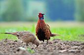 stock photo of pheasant  - Photo of male and female pheasant in a field - JPG